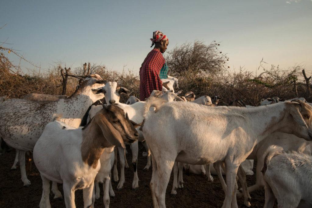 A maasai woman in Kajiado County, Kenya with her goats